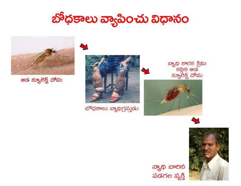 Mosquitoes-Diseases-దోమలు-వ్యాధులు_Page_07