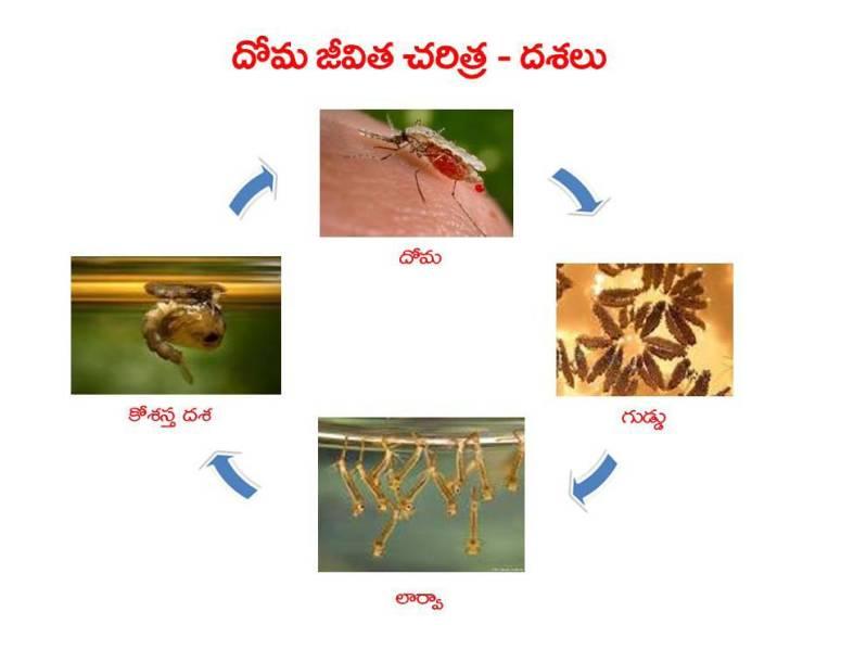 Mosquitoes-Diseases-దోమలు-వ్యాధులు_Page_15